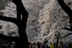 弱い西日を受ける桜