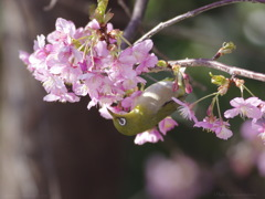 メジロんと河津桜