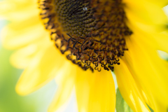 sunflower**