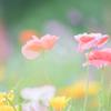 Poppy..♪