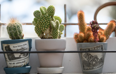 Cactus**