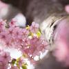 ..Sakura..