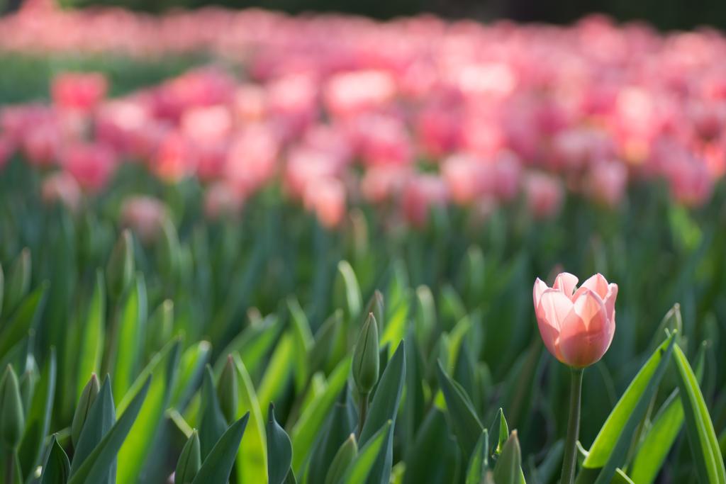 Tulip♡