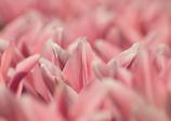 pink tulip..♡