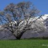 みちのくの春 - 小岩井一本桜
