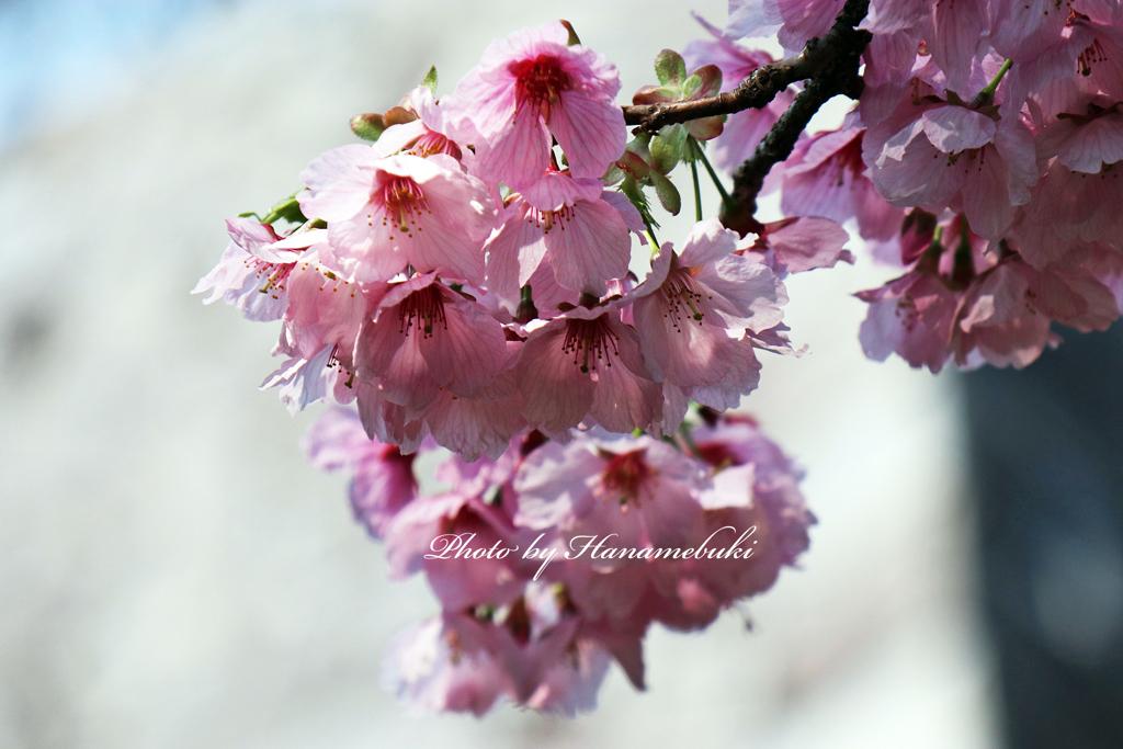 石垣と紅映桜