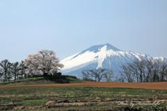 鯉の滝登り - 為内の一本桜