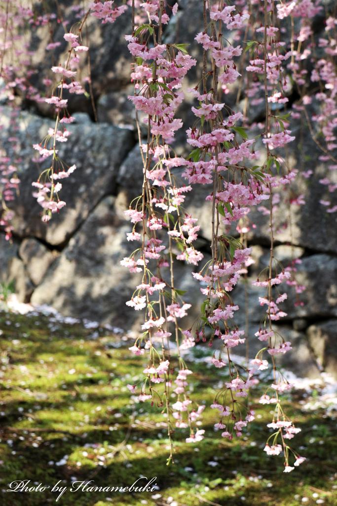 石垣と枝垂桜Ⅱ