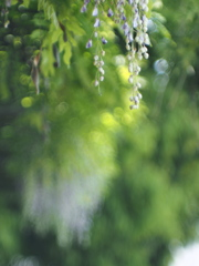 Japanese wisteria Ⅲ