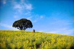 菜の花畑に広がる空