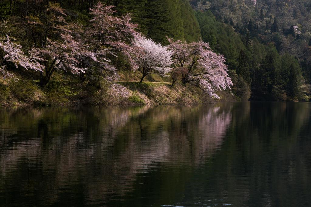 春惜桜 〜北竜湖〜 by Bonjour ...