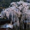 受継がれる枝垂れ桜