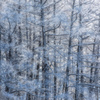 唐松に咲く雪の華