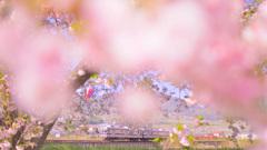 彼岸桜 咲く頃
