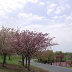 桜咲く汐入