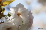 朱雀桜の素顔