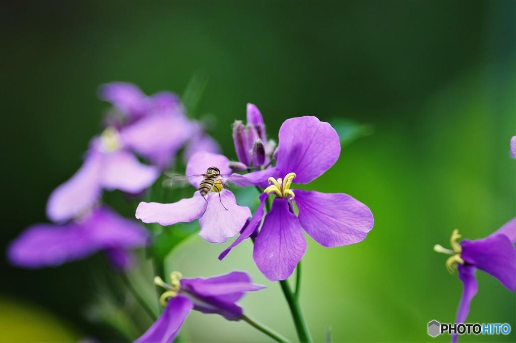 紫にヒラタアブ、、、!!