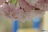 普賢象桜の別れ