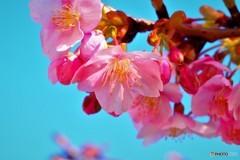汐入河津桜ⅸ