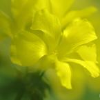 黄花の叫び