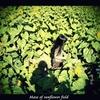 Maze of sunflower field