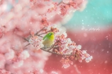 春雪めじろ
