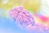 紫陽花ドリーム