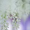 あしかがフラワーパーク⑧ 藤の花三種盛り