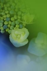 こころにうるおいを 紫陽花ギャラリー26