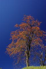 柿の木と秋の空