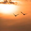 夕陽と白鳥#3