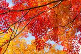 maple leaf gradation
