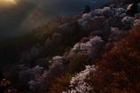 sakura no kokoro