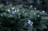 forest violet