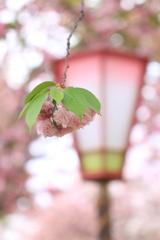 雨の桜祭り