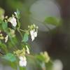 ガクウツギの花言葉