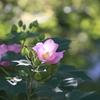 芙蓉咲く朝