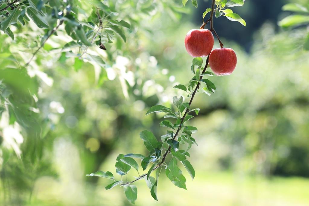 林檎ぶらんこ