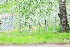 林檎の花が咲いたよ