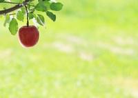 CANON Canon EOS 6Dで撮影した(りんごの気持ち)の写真(画像)