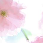 CANON Canon EOS 6Dで撮影した(桜シフォン)の写真(画像)