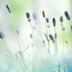 CANON Canon EOS Kiss X4で撮影した植物(窓辺のラベンダー♪)の写真(画像)