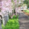 しだれ桜が揺れる頃