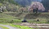 田屋の一本桜とトラクター