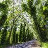 カウアイ島 ツリートンネル Maluhia Road Tree Tunnel
