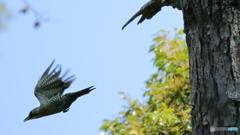 アオゲラの飛翔