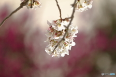 背景に包まれた桜