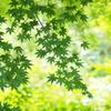 新緑のキラメキ