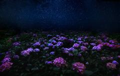 星と紫陽花