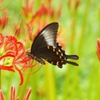 黒揚羽と彼岸花